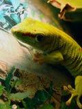 Gecko gigante do dia de Madagascar Fotos de Stock Royalty Free