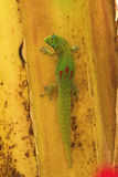 Gecko. Gold Dust gecko resting on a baana stalk on Maui Stock Photos