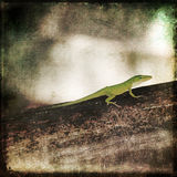 Gecko Green Cameleon Brown Wood Branch Royalty Free Stock Photos