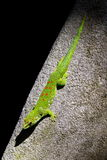 Gecko green Royalty Free Stock Images