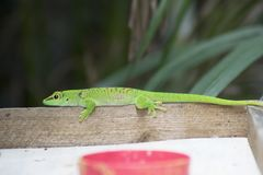 Green gecko Royalty Free Stock Photography