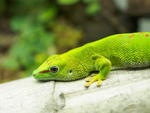 Gecko. Green reptile royalty free stock image