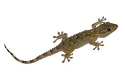 Gecko grey. Little Gecko, in lateral view, with white background Stock Photography