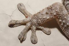 Gecko gris de maison photographie stock libre de droits
