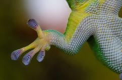 Gecko, Hand, Sticky, Nature Royalty Free Stock Photo