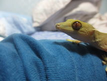 Gecko Stock Photo