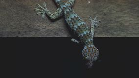 Gecko is hanging on the wall stock footage