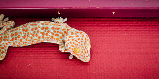 Gecko Royalty Free Stock Photo