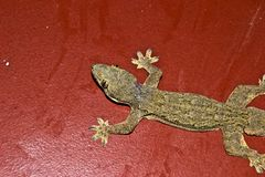 Gecko hurt at the red floor. A gecko has fight with other gecko and it is hurt royalty free stock photography