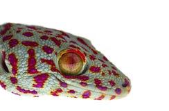 Gecko haut ?troit de sourire sur le fond blanc photos libres de droits