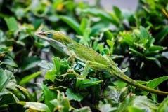 Gecko hawaïen image libre de droits