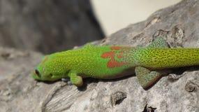 Gecko hawaïen photographie stock libre de droits