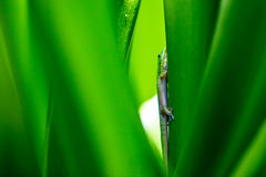 Gecko in Hawaii Royalty Free Stock Image