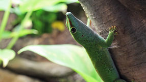 Gecko. The head of a Gecko, looking upwards Royalty Free Stock Images