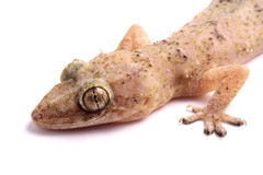 Gecko head Stock Photography