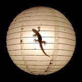 Gecko in the light royalty free stock photo
