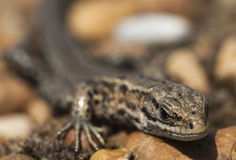 Gecko. Royalty Free Stock Photography