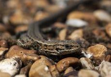 Gecko. Royalty Free Stock Photo