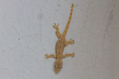 Gecko house on wall Royalty Free Stock Image