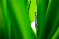 Gecko i Hawaii Royaltyfri Bild
