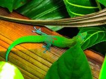 Gecko i Hawaii Arkivbilder