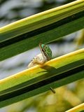 Gecko i naturlig livsmiljö Royaltyfri Foto