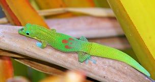 Gecko i trädgården Royaltyfria Bilder