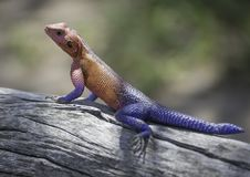 Gecko im wilden Lizenzfreie Stockfotografie