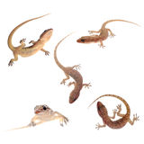 Gecko isolated collection Royalty Free Stock Photos