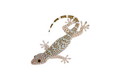 Gecko. Isolated full body of gecko on white background royalty free stock photos