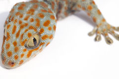 Gecko. A gecko isolated in white background Royalty Free Stock Photo