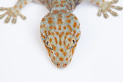 Gecko. A gecko isolated in white background Royalty Free Stock Image