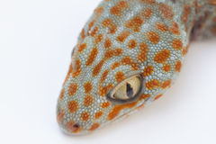 Gecko. A gecko isolated in white background Stock Photos