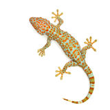 Gecko. Isolated on white background stock images