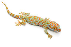 Gecko. Isolated on white background stock photos