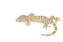 Gecko isolated on white background. Stock Photo