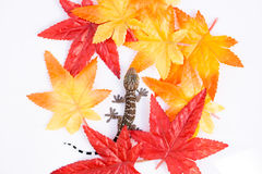 Gecko isolated on white background Royalty Free Stock Image