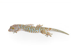 Gecko isolated on white Stock Photography