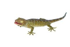 gecko isolerad white Arkivbild