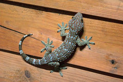 Gecko ist Schale das hellblaue und das orange auf hölzerner Wand Lizenzfreie Stockfotos