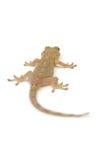Gecko japonés fotografía de archivo libre de regalías