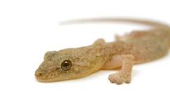 Gecko japonés fotos de archivo
