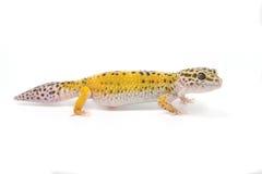 Gecko jaune de léopard sur le fond blanc Photographie stock libre de droits