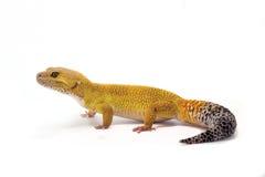 Gecko jaune de léopard sur le fond blanc Photo stock