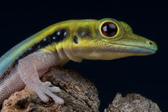 gecko Jaune-dirigé de jour Photographie stock