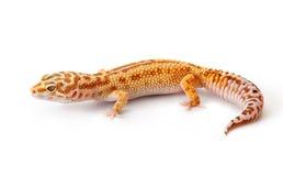 Gecko jaune-orange image libre de droits