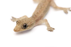 Gecko joven imagenes de archivo