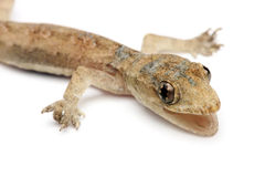 Gecko joven fotos de archivo libres de regalías