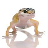 Gecko joven del leopardo - macularius de Eublepharis fotografía de archivo