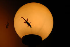 Gecko on lamp. A gecko rests on a spherical lamp royalty free stock images